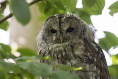 Tawny owl Strix aluco winking a eye Stock Photo