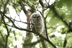 Tawny Owl (Strix aluco). Young Tawny Owl resting in its natural habitat stock photos