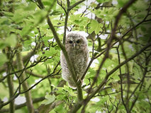 Tawny Owl (Strix aluco). Young Tawny Owl resting in its natural habitat royalty free stock photo