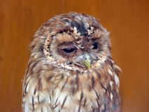 Tawny owl (Strix Alucoo) Royalty Free Stock Photography