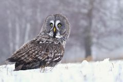 Tawny owl Strix nebulosa Stock Image
