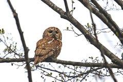 Tawny Owl (Strixaluco) Arkivbilder