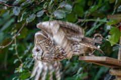 Tawny owl taking flight royalty free stock photography