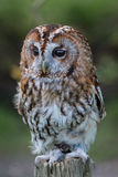 Tawny Owl. Tany Owl, Strix aluco. Perched on log royalty free stock images