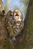 Tawny owl in tree Stock Photos