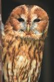 Tawny owl. The upper body of tawny owl stock photos