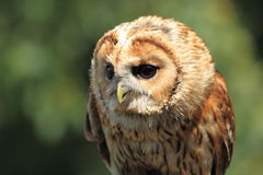 Tawny owl. The upper body of gazing tawny owl stock images