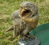 Tawny Owl used in a Falconry Show in the UK. Photo of a tawny owl perched on a stand in a falconry show in the uk this owl is also called the brown owl royalty free stock photos
