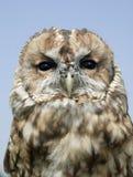 TAWNY OWL VÄNDER MOT MOT BLÅ HIMMEL Fotografering för Bildbyråer
