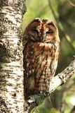 Tawny Owl Royalty Free Stock Photos