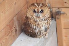 Tawny owl. In the wildlife rescue station Vlasim, Czech Republic Stock Photos
