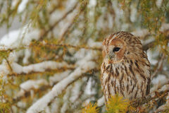 Tawny owl in winter Royalty Free Stock Photography