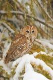 Tawny owl in winter Stock Image