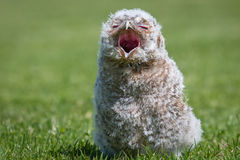 Tawny owl young chick Royalty Free Stock Photos