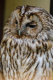 A Tawny owl. In the zoo in Kaluga region Royalty Free Stock Photo