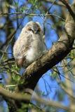 Tawny Owlet Royaltyfri Fotografi