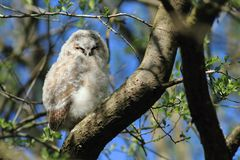 Tawny Owlet Royalty Free Stock Photography
