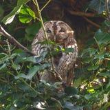 Tawny Owls Immagine Stock