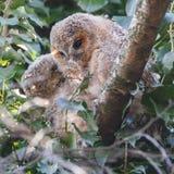 Tawny Owls Fotografie Stock Libere da Diritti