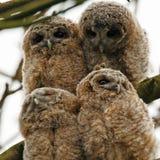 Tawny Owls Stock Image