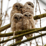 Tawny Owls. Four juvenile tawny owls perched on a twig royalty free stock image
