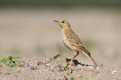 Tawny Pipit. Anthus campestris. Stock Images