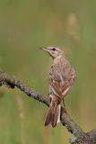 Tawny Pipit. Anthus campestris. Royalty Free Stock Photography