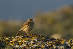 Tawny pipit (Anthus campestris) close-up Royalty Free Stock Photo