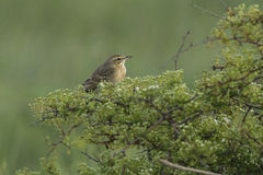 Tawny pipit (Anthus campestris) close-up Stock Images