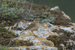 Tawny pipit (Anthus campestris) close-up. In Bulgaria Royalty Free Stock Photography