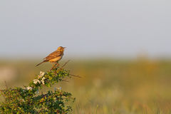 Tawny pipit (Anthus campestris) close-up Royalty Free Stock Photos