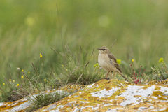 Tawny pipit (Anthus campestris) close-up. In Bulgaria Stock Photography