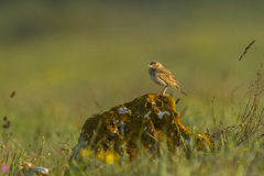 Tawny pipit (Anthus campestris) close-up Stock Photos