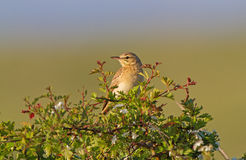 Tawny pipit (Anthus campestris) close-up. In Bulgaria Royalty Free Stock Image