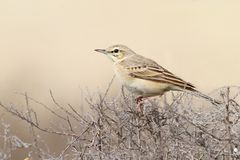 The tawny pipit Anthus campestris Stock Photos