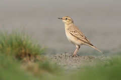 Tawny pipit Stock Photo