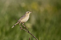 Tawny pipit, Anthus campestris. Single bird on branch, Bulgaria, May 2013 Stock Images