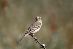 Tawny pipit, Anthus campestris. Single bird on branch, Bulgaria, May 2013 Royalty Free Stock Images