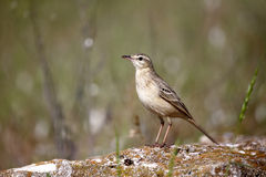 Tawny pipit, Anthus campestris Royalty Free Stock Images