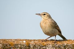 Tawny Pipit Anthus campestris sitting on a concrete fence.  Stock Photo