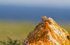 Tawny pipit (Anthus campestris) Royalty Free Stock Photography