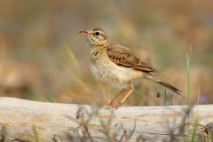 Tawny Pipit - Anthus campestris. Sitting on the dry plant Stock Images