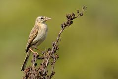 Tawny Pipit - Anthus campestris. Sitting on the dry plant Royalty Free Stock Photo