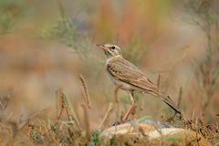 Tawny Pipit - Anthus campestris. Sitting on the summer meadow Royalty Free Stock Image