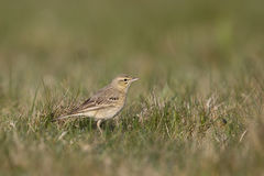 Tawny Pipit in grassland field Stock Photo