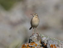Tawny Pipit. At Ipsilou Monastery,Lesvos royalty free stock photography