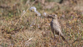 Tawny Pipit on Prairie Royalty Free Stock Image