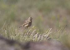 Tawny Pipit in rocky steppe. Stock Photos