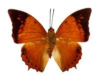 Tawny Rajah butterfly Royalty Free Stock Images