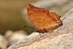 Tawny rajah butterfly. Of thailand background Stock Photos